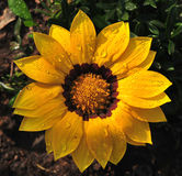 Fiore di Sun con acqua Fotografia Stock Libera da Diritti