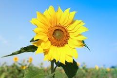 Fiore di Sun con cielo blu Fotografia Stock Libera da Diritti