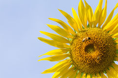 Fiore di Sun con l'ape nell'ambito della luce di mattina Immagini Stock