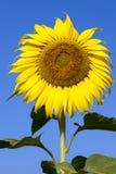 Fiore di Sun contro cielo blu Fotografie Stock Libere da Diritti