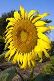 Fiore di Sun contro cielo blu Fotografia Stock
