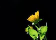 Fiore di Sun contro fondo nero Fotografia Stock