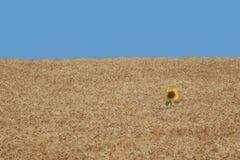Fiore di Sun da solo in un giacimento di grano Immagini Stock Libere da Diritti