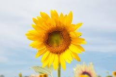Fiore di Sun in fied in Immagini Stock