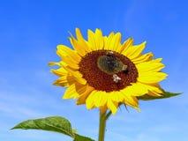 Fiore di Sun su cielo blu Fotografia Stock Libera da Diritti