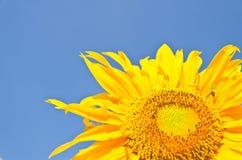 Fiore di Sun sulla priorità bassa del cielo blu Fotografia Stock Libera da Diritti