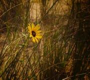 Fiore di Suzanne osservato il nero fotografia stock libera da diritti