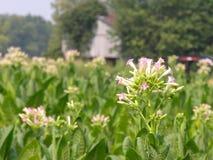 Fiore di Tabacco Fotografia Stock Libera da Diritti
