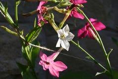 Fiore di tabacco Fotografie Stock