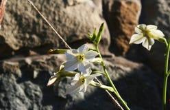 Fiore di tabacco Fotografia Stock