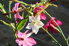 Fiore di tabacco Immagine Stock Libera da Diritti