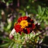 Fiore di Tagetes Fotografie Stock