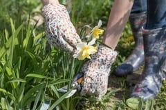 Fiore di taglio del narciso Fotografia Stock