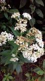 Fiore di Tennesse Fotografia Stock