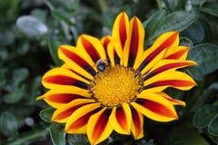 Fiore di tesoro nel giardino immagini stock libere da diritti