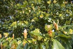 Fiore di thunbergii di Machilus Immagini Stock