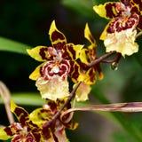 Fiore di Tiger Orchid Immagine Stock Libera da Diritti