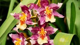 Fiore di Tiger Orchid La macchina fotografica si spost indietroare sul cursore Correzione di colore archivi video