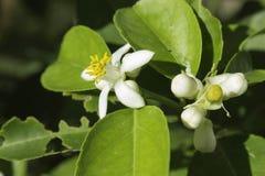 Fiore di tiglio Fotografia Stock Libera da Diritti