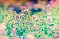 Fiore di timo Fotografia Stock