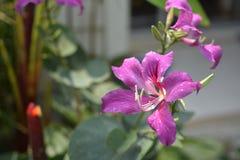 Fiore di TreePink del polline o della farfalla di bauhinia purpurea Fotografia Stock
