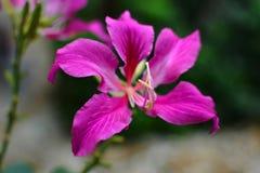 Fiore di TreePink del polline o della farfalla di bauhinia purpurea Fotografie Stock Libere da Diritti