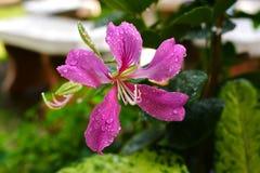 Fiore di TreePink del polline o della farfalla di bauhinia purpurea Fotografie Stock