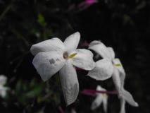 Fiore di tristezza Fotografie Stock