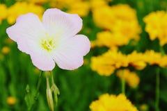 Fiore di tromba Immagine Stock