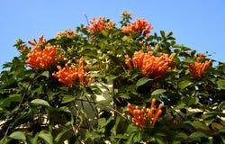Fiore di tromba di Pyrostegia Venusta Oange fotografia stock