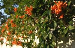 Fiore di tromba di Pyrostegia Venusta Oange immagini stock