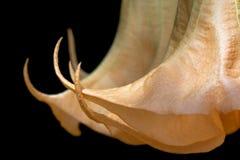 Fiore di trombe del ` s di angelo Fotografia Stock