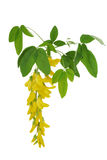 Fiore di un'acacia gialla Immagini Stock