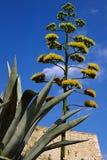 Fiore di un'agave su una priorità bassa del cielo blu Immagine Stock