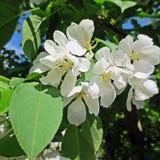 Fiore di un Apple-albero Fotografia Stock