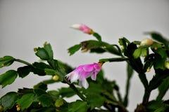 Fiore di un cactus di natale fotografia stock libera da diritti
