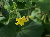 Fiore di un cetriolo Fotografia Stock