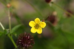 Fiore di un'erba del avens di legno Immagine Stock