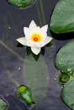 Fiore di un giglio Fotografia Stock Libera da Diritti