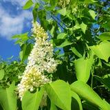 Fiore di un lillà bianco Immagini Stock