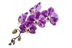 Fiore di un primo piano dell'orchidea di phalaenopsis su un bianco Fotografia Stock Libera da Diritti