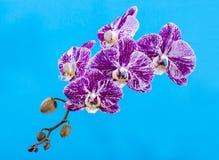 Fiore di un primo piano dell'orchidea di phalaenopsis su un turchese Fotografie Stock Libere da Diritti