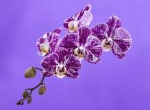 Fiore di un primo piano dell'orchidea di phalaenopsis su una viola Immagine Stock