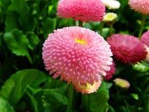 Fiore di un primo piano rosa della margherita Fotografie Stock