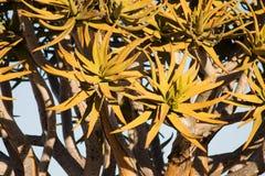 Fiore di un Quivertree Immagine Stock