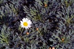 Fiore di una camomilla sopra fotografia stock