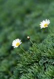 Fiore di una camomilla su una priorità bassa di un cespuglio fotografia stock libera da diritti