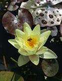 Fiore di una ninfea gialla Immagini Stock Libere da Diritti