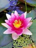 Fiore di una ninfea rosa Fotografia Stock