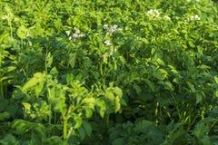 Fiore di una pianta di patate sbocciante Giacimento verde della patata I fiori bianchi della patata agricoltura Immagini Stock Libere da Diritti